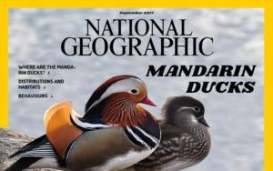 National Geographic Mandarin Ducks Graphic Design Layout | Monika Szucs